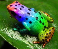 Rainbow Frog by AnthonyHearsey