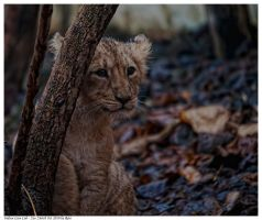 Indian Lion Cub 2 by Reto