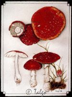 Amanita muscaria by Son-of-Incogneato