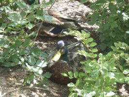 Ducks in a bush by Endeavor4ever