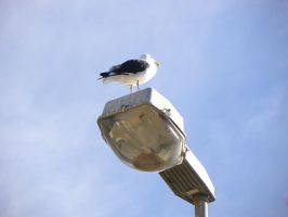 Seagull on street lamp by RiverKpocc