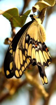 Yellow Swallowtail Butterfly by PanisEtCircense