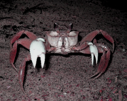 Ghost Crab by ghost-crabs