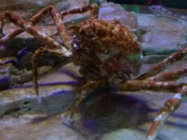 THE BIGGEST CRAB EVER!!!!!!!!!!!! by vienna2000