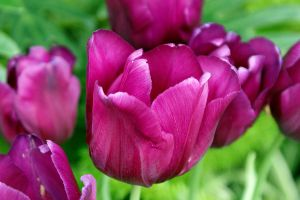 Beautiful Pink Tulips by aslaton