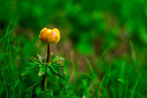 Trollblume by alban-expressed