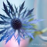 soft thistle by kim-e-sens