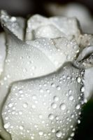 flower droplets by Dune-sea