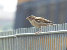 sparrow by damenster