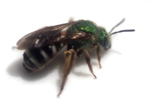 Agapostemon virescens Female by LadyLyonnesse