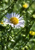 Aster by DaisyDinkle