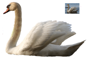 Swan 5 png FREEBIE STOCK by AStoKo by AStoKo