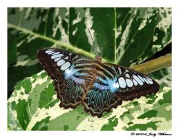 Blue Clipper by Tazzy-