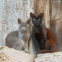 Two asturian cats by Jorapache