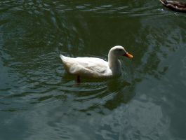 Glowing White Duck by biggyp