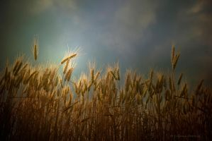 Wheat by lpetrusa