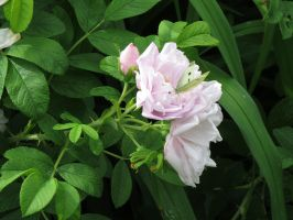 wold roseswith a butterfly by Nipntuck3