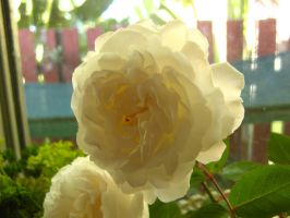 White rose 2 by fa-stock