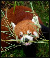 Red Panda by ToytownMafia