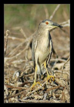 Night Heron by invisiblewl