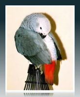 African Grey Parrot by bewilderedconfused