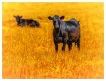 Cows in yelow by catchaca1