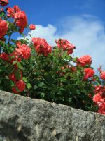 Red Roses and Blue Sky by FrankieAlton