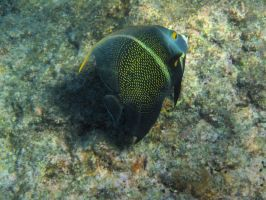 Fish - French Angelfish by Lauren-Lee