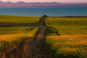Canola Fields in blossom by Peter-Cassar