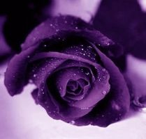 purple rose for Don by snofs