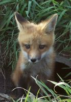 little red fox by theLtrain