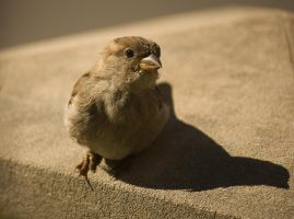 Female House Sparrow - CloseUp by toshema