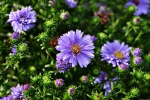 Perennial Aster Flowers by WickedOwl514