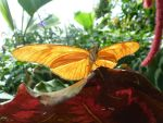 Orange Butterfly by GiovediStorm-Shade
