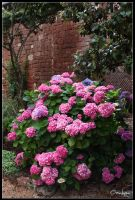 Old stones and hydrangeas by oxalysa