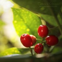 The Red Berries by TammyPhotography