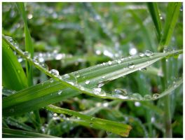 Rain Drops on Blades of Grass by shawn529