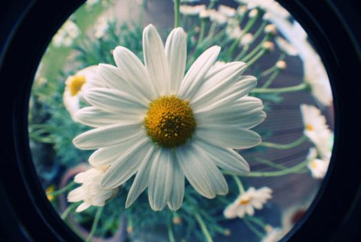 fisheye daisy by Frankii