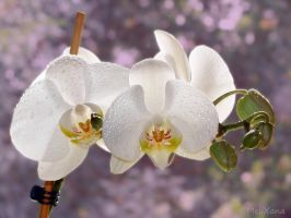 Phalaenopsis 5 by Martina-WW