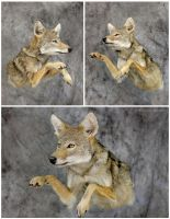 Half a 'Yote by WeirdCityTaxidermy
