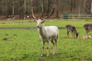 Fallow Deer 4 by landkeks-stock