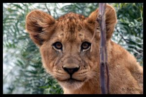 Cutie Lion Cub Face by shutterbugmom