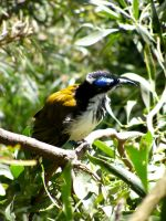 Natives: Blue-faced Honeyeater by phlufii
