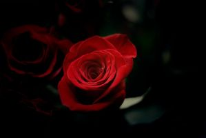Red Rose in the Darkness? by jmorganspringer1