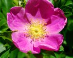 Wild Rose by BlueSolitaire