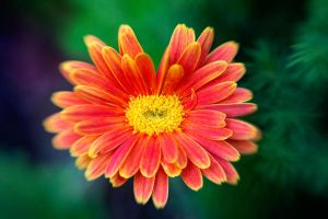 Lensbaby Orange Daisy by LDFranklin