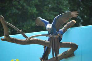 hyacinth macaw 4.4 by meihua-stock