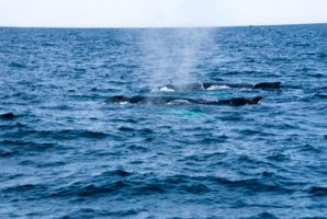Whales, Two Backs and Mist Spray 2 by Miss-Tbones