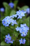 little blue flowers by luviar