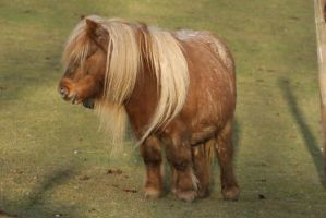 Shetland Pony 7 by gaothaire